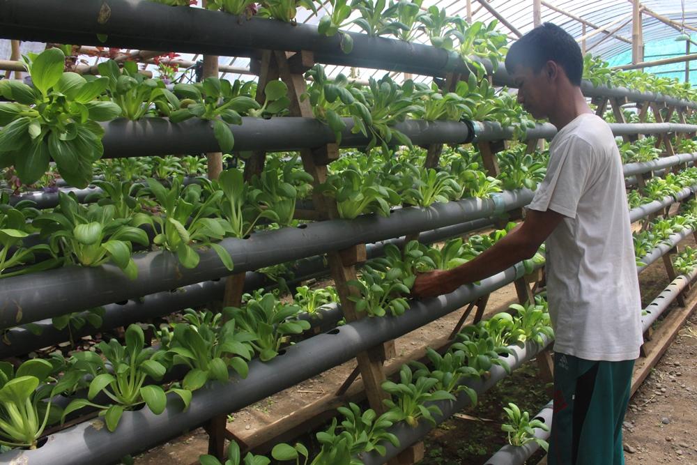 Nur Hamdani Geluti Tanaman Sayuran Hidroponik Di Kampungnya