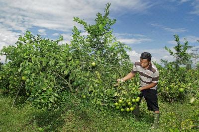 Hasil Lebih Menguntungkan Petani Cabai Beralih Tanam Jeruk Lemon California Pemerintah Provinsi Jawa Tengah